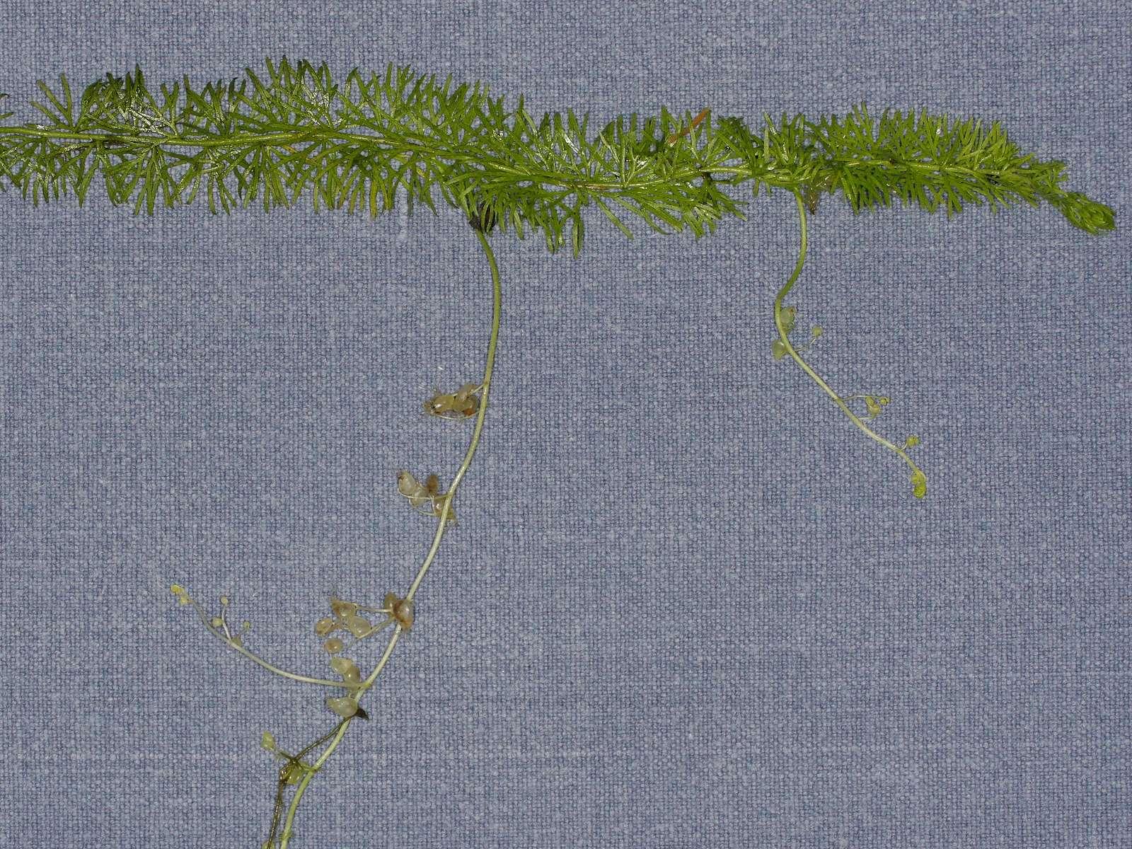 Utricularia intermedia  Mittlerer Wasserschlauch Utricularia Intermedia